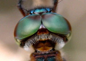 Compound Eyes of Insects