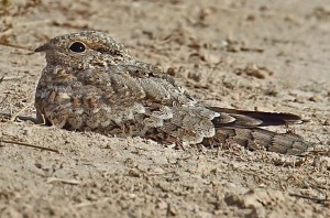 Egyptian nightjar camouflage
