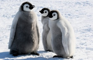 Emperor Penguins Facts