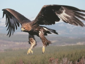 How do Golden Eagles Hunt