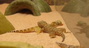 Israeli sand gecko camouflage
