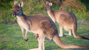 Kangaroos Hop Instead of Walk