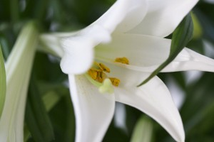 Lily flower facts
