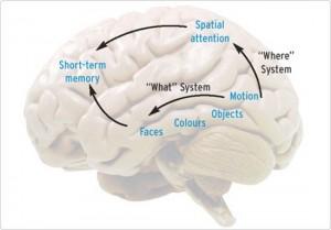 Memory Human Brain