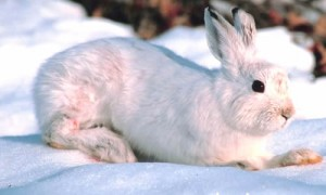 Snowshoe hare camouflage