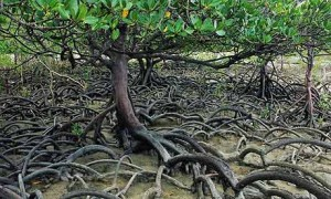 What Are Mangrove Forests