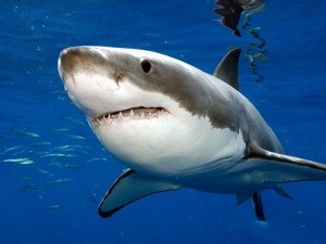 What Does a Great White Shark Eat