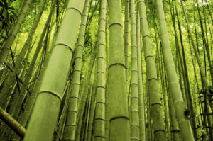 Bamboo is the fastest-growing plant
