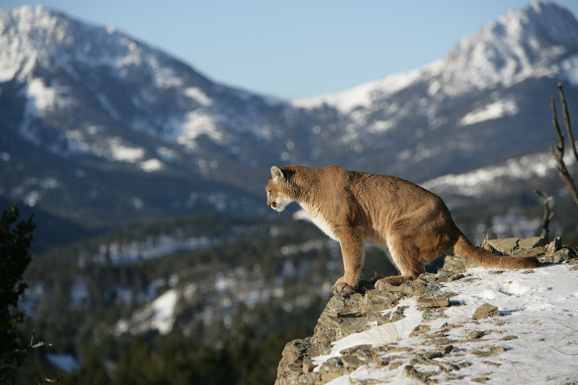 7 Facts About Cougar, Mountain Lion or Puma - Some ... - photo#35