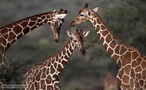 Giraffe nurseries