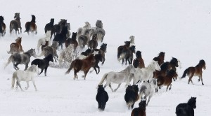 Horses Gallop in Snow
