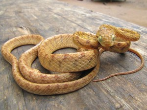 Pet snakes that eat Eggs