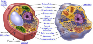 Plant Cell vs Animal Cell