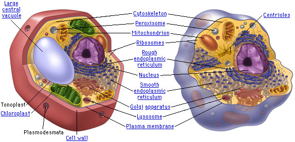 Plant Cell vs Animal Cell - Some Interesting Facts