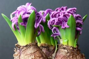 Plants Grow From Bulbs