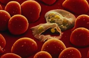 Plasmodium parasite