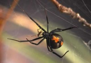 Redback spider female eating male