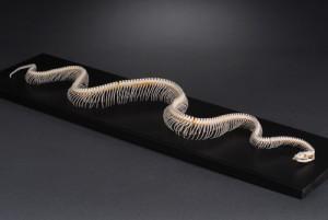 Snake python ribs