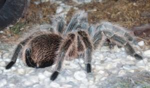 Tarantulas spiders