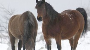 Wild and feral horses