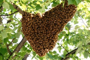 swarm of honeybees