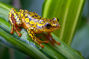 Amphibian Extinction