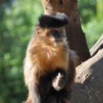 Black Horned Capuchin