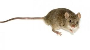 Boosting Immunity Mice