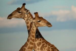 Homosexuality giraffe