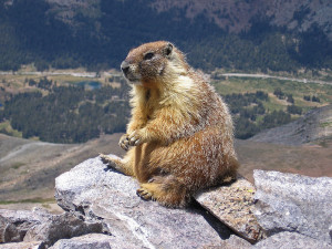 Marmots wake from hibernation