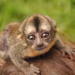 Northern Owl Monkey