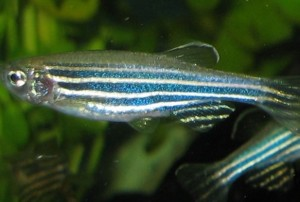 Robotic Zebra Fish