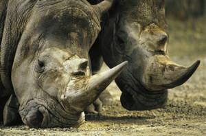 stop rhino poachers