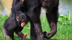 Chimpanzees live in communities