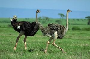 Ostriches Run