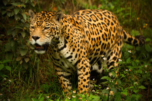 How Do Jaguars Survive In The Rainforest - Some Interesting Facts