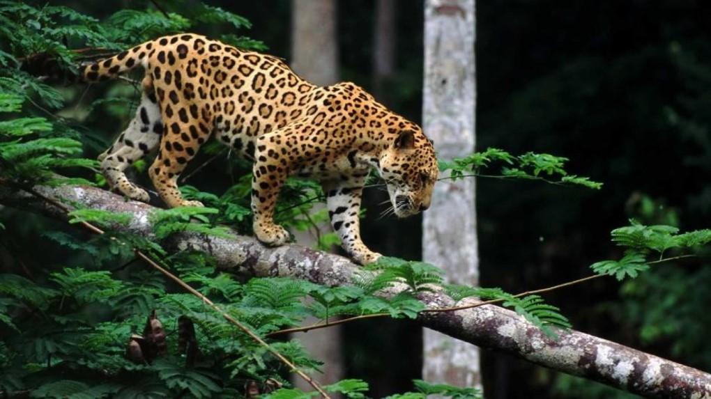 how do jaguars survive in the rainforest some interesting facts. Black Bedroom Furniture Sets. Home Design Ideas