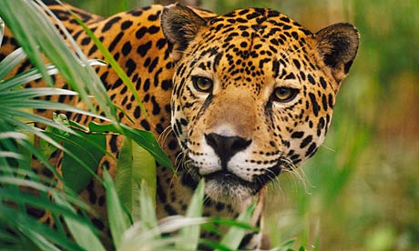 Jaguar on Jaguar In The Rainforest