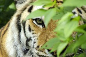 jaguars or tigers