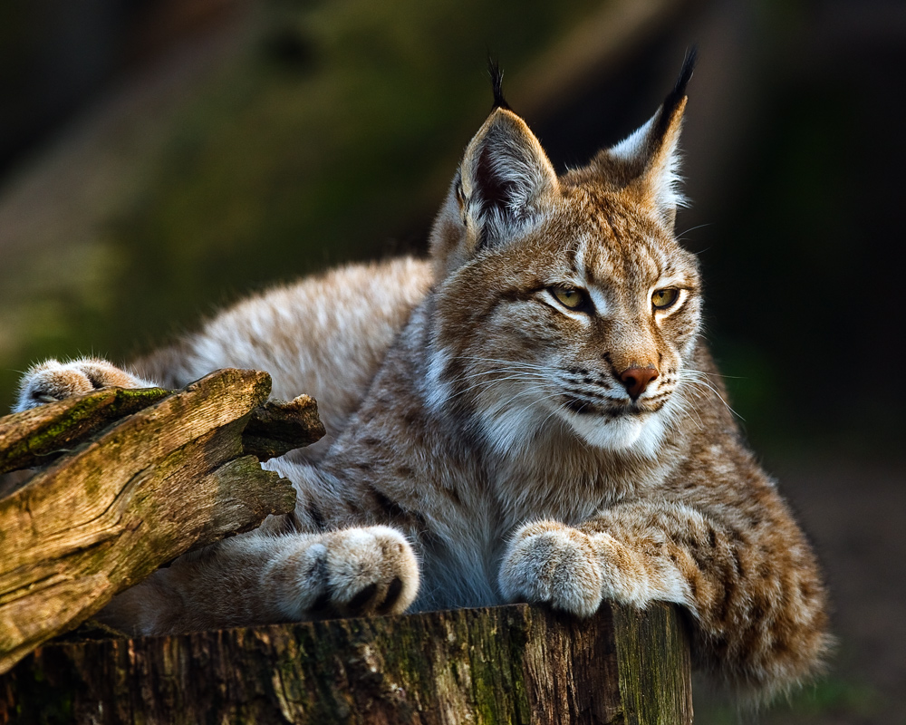 6 facts about eurasian lynx some interesting facts
