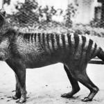 Tasmanian tiger jaw