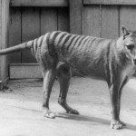 Thylacine Thylacin