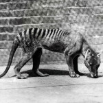 A Tasmanian tiger in captivity, c1930