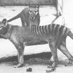 Thylacinus in Washington D.C. National Zoo, c. 1906.