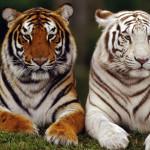 white and orange tiger