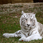 white tiger fur