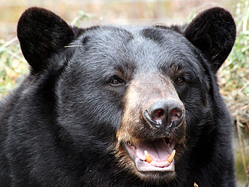 10 facts american black bear some interesting facts