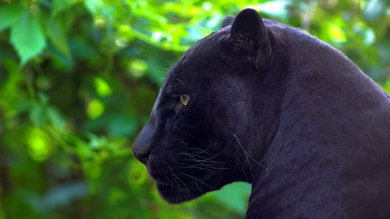 Facts About Black Panthers The Animal - Some Interesting Facts - photo#22
