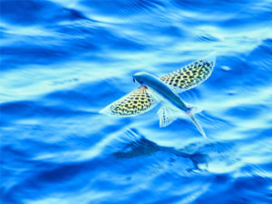 flying-fish-facts