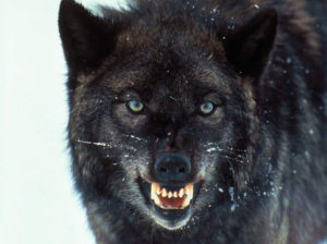 the-black-wolf